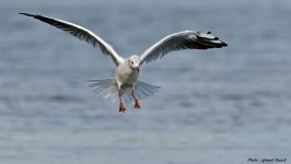 mouette_rieuse 11005
